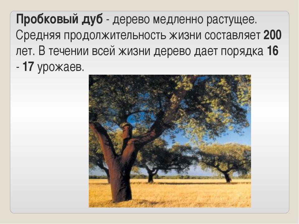 Пробковый дуб - дерево медленно растущее. Средняя продолжительность жизни сос...
