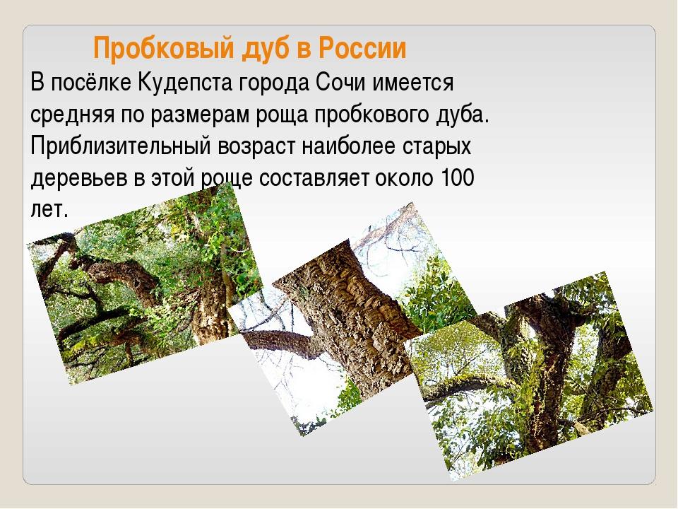 Пробковый дуб в России В посёлке Кудепста города Сочи имеется средняя по раз...