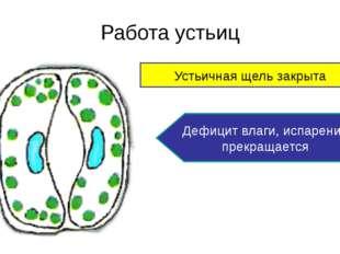 Работа устьиц Устьичная щель открыта Влаги достаточно, происходит испарение в