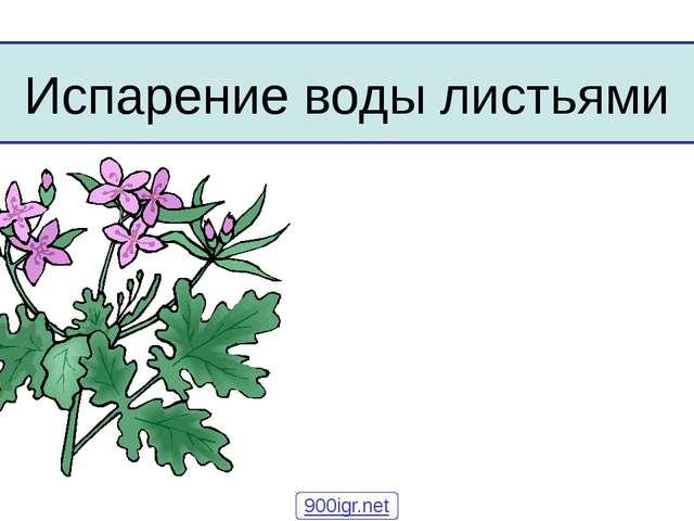 Испарение воды листьями 900igr.net