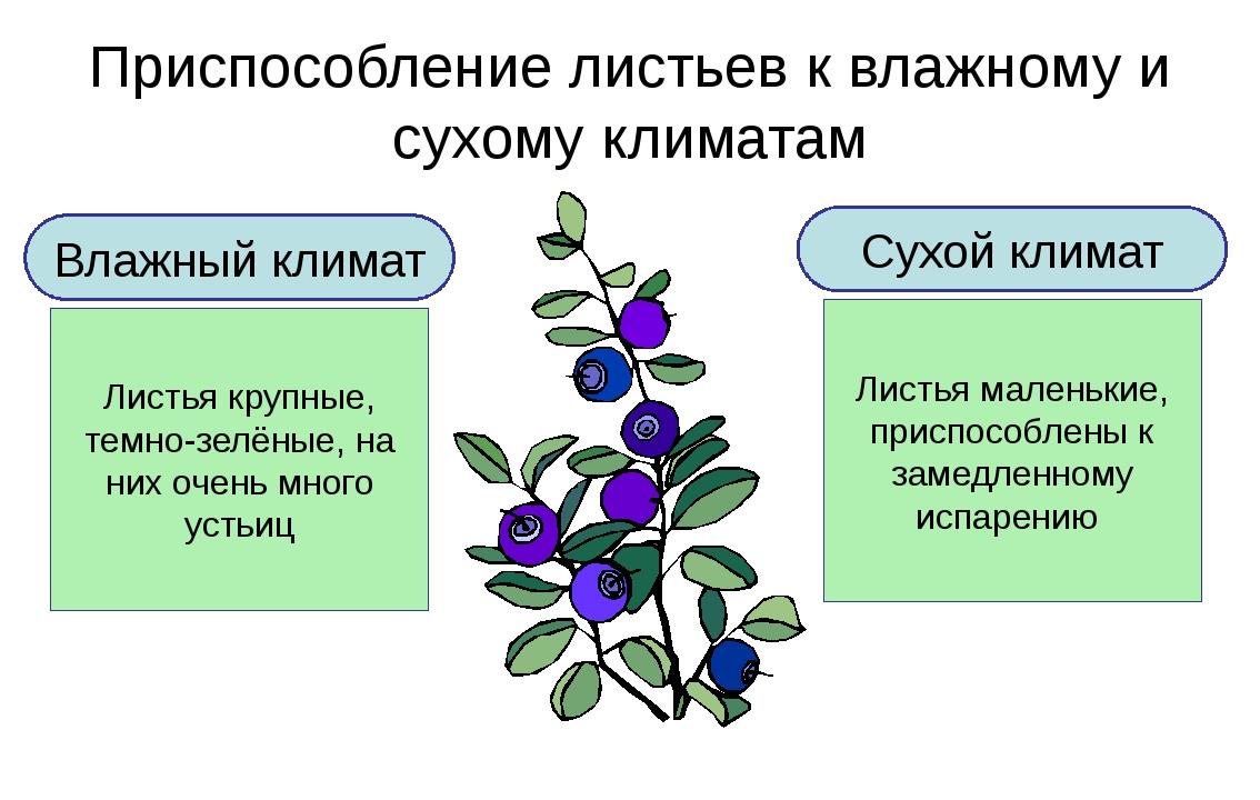 Приспособление листьев к влажному и сухому климатам Влажный климат Листья кру...