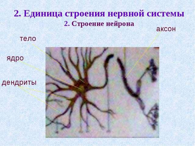 2. Единица строения нервной системы 2. Строение нейрона ядро тело аксон дендр...