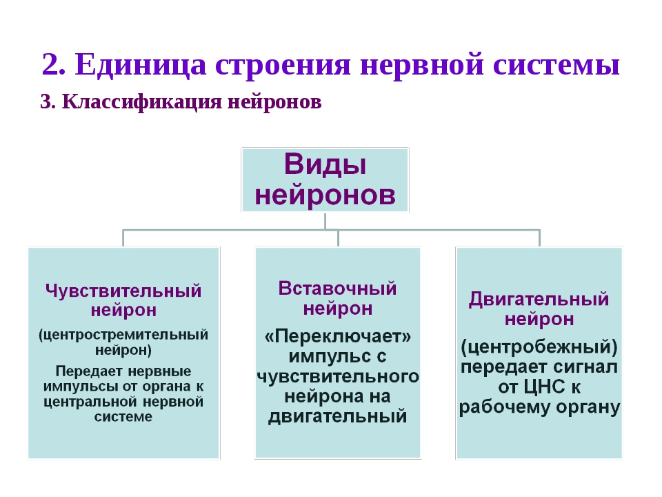 2. Единица строения нервной системы 3. Классификация нейронов