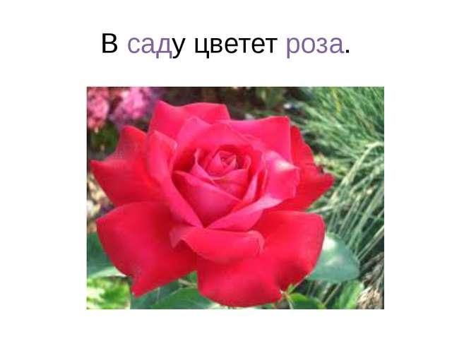 В саду цветет роза.