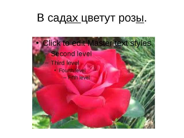 В садах цветут розы.