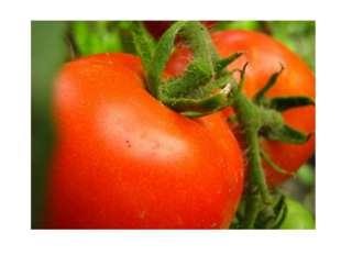 Помидор, или томат, попал к нам из Южной Америки. Сначала томат служил для у