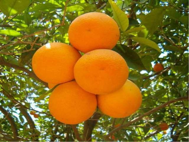 Апельсины появились в России в XVIII веке. Но само растение не выносит холод...