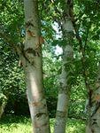 береза, деревья, Скачать Обои и Фото