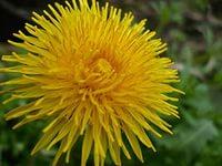 Лекарственные свойства одуванчика. Фото растения.