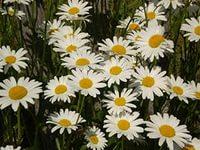 uh.ru У душистой ромашки цветки все трубчатые, поэтому она сильно отличается от привычных нам ромашек других видов. Дело в том,