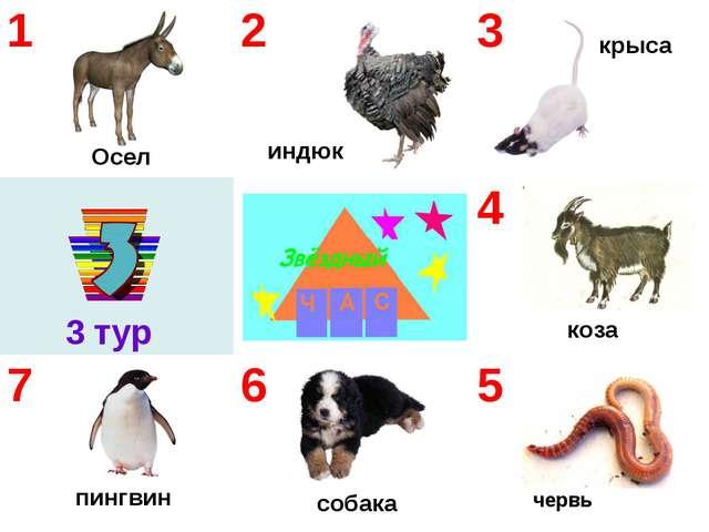 червь Осел индюк крыса пингвин собака коза 3 тур    123 4 765
