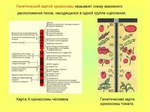Генетической картой хромосомы называют схему взаимного расположения генов, на