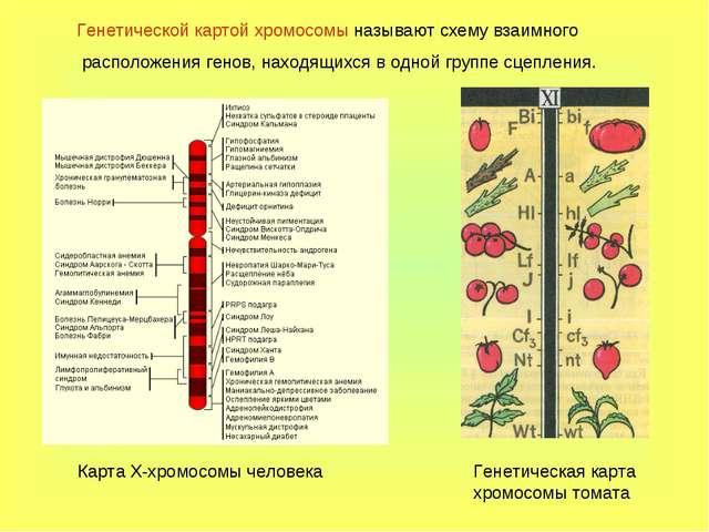 Генетической картой хромосомы называют схему взаимного расположения генов, на...
