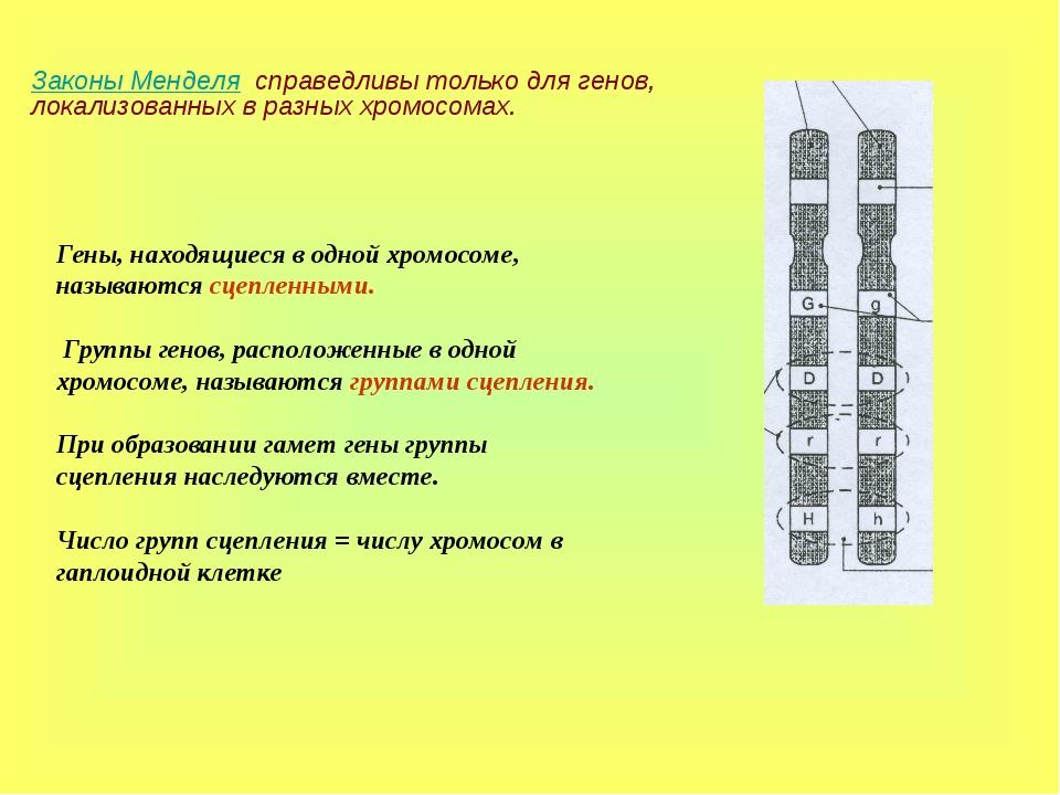 Законы Менделя справедливы только для генов, локализованных в разных хромосом...