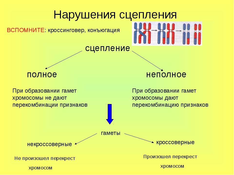 Нарушения сцепления сцепление полное неполное При образовании гамет хромосомы...
