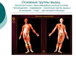 Основные группы мышц. (Биология.9 класс. Мультимедийное учебное пособие. Прос