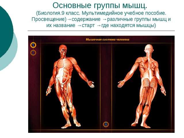Основные группы мышц. (Биология.9 класс. Мультимедийное учебное пособие. Прос...