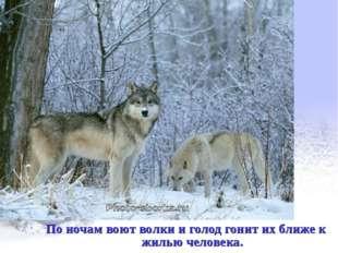 По ночам воют волки и голод гонит их ближе к жилью человека.