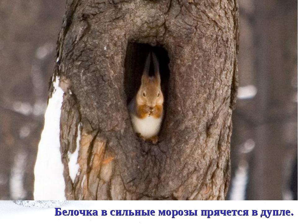 Белочка в сильные морозы прячется в дупле.