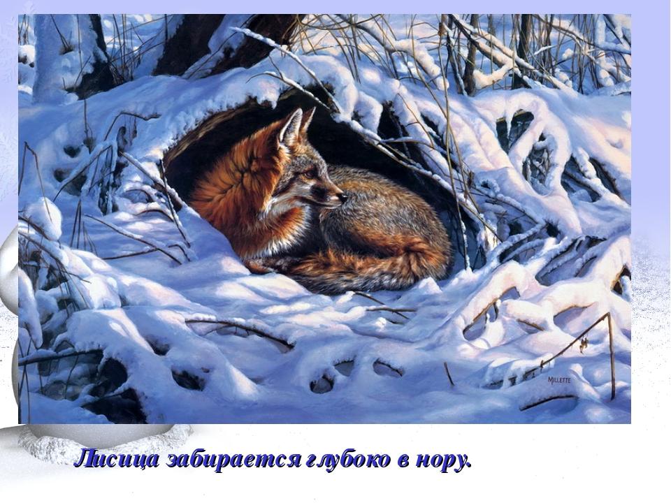 Лисица забирается глубоко в нору.