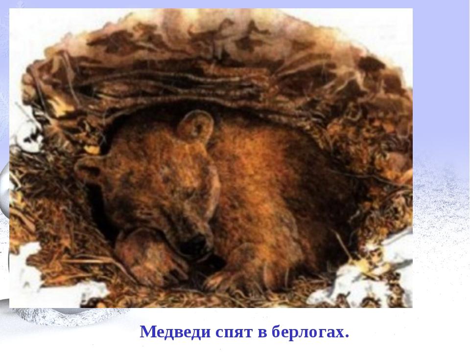 Медведи спят в берлогах.