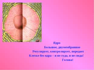 Ядро Большое, двумембранное Регулирует, контролирует, передает Клетке без яд