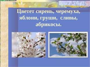 Цветет сирень, черемуха, яблони, груши, сливы, абрикосы.