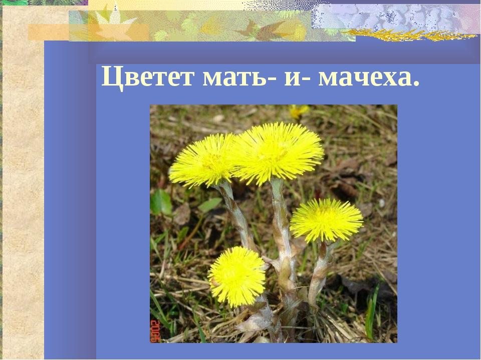 Цветет мать- и- мачеха.
