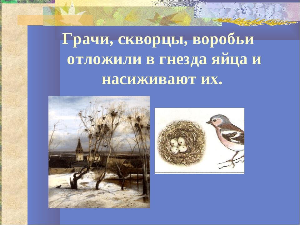 Грачи, скворцы, воробьи отложили в гнезда яйца и насиживают их.