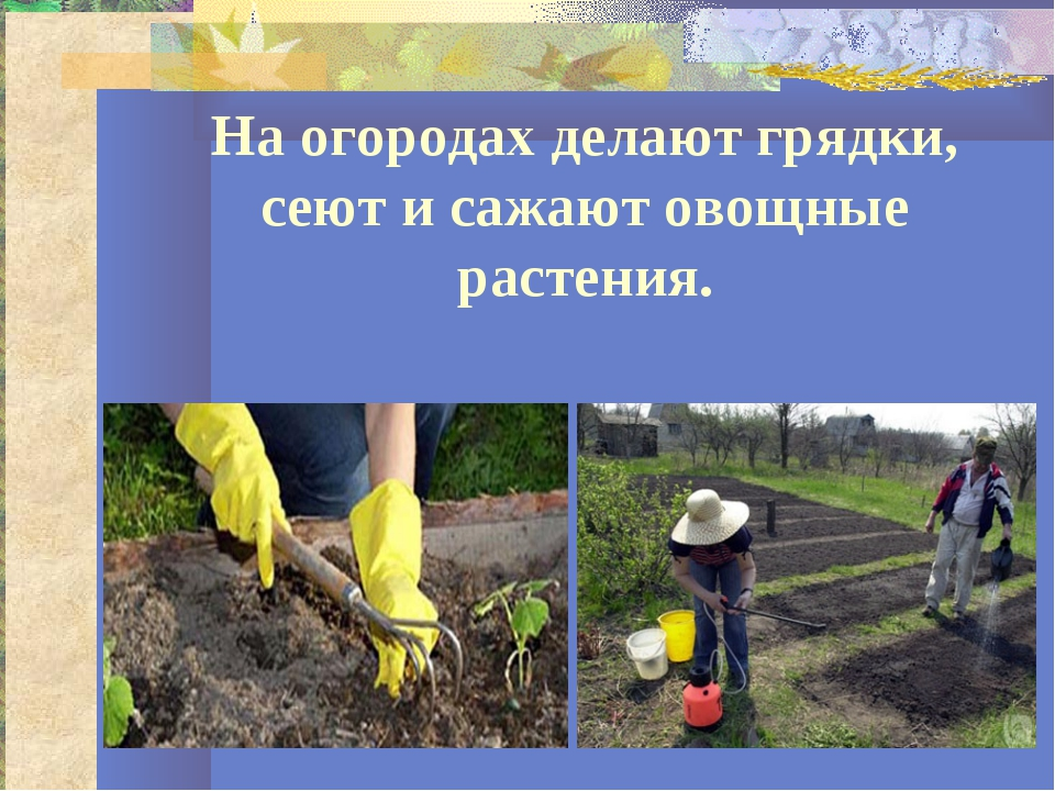 На огородах делают грядки, сеют и сажают овощные растения.