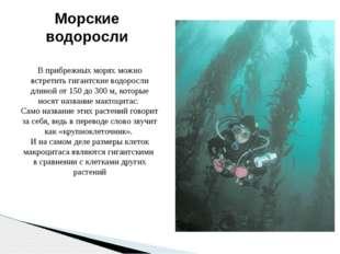 Морские водоросли В прибрежных морях можно встретить гигантские водоросли дли