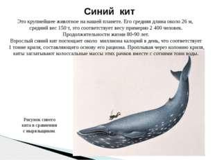 Синий кит Это крупнейшее животное на нашей планете. Его средняя длина около 2
