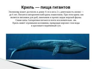 Крохотные рачки — криль — составляют основу пищи кита. Криль — пища гигантов