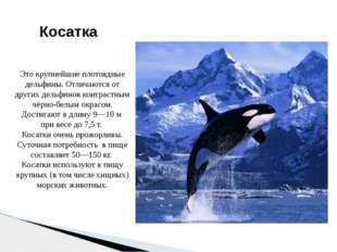 Косатка Это крупнейшие плотоядные дельфины. Отличаются от других дельфинов ко