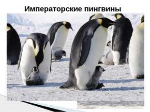 Это крупнейшие из живущих на Земле пингвинов, достигающие1,3 м в длину и веся