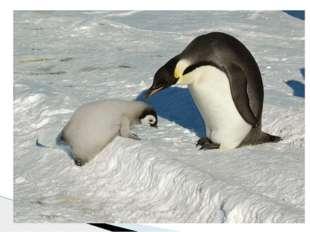 Главная пища императорских пингвинов – криль, моллюски и рыба, на которые они