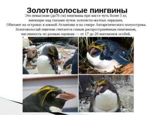 Это невысокие (до76 см) пингвины при массе чуть более 5 кг, имеющие над глаза
