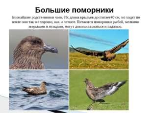 Ближайшие родственники чаек. Их длина крыльев достигает40 см, но ходят по зе
