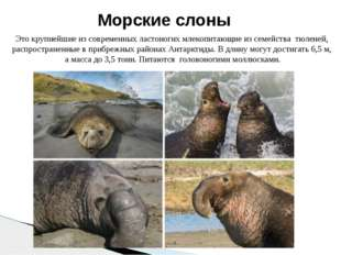 Это крупнейшие из современных ластоногих млекопитающие из семейства тюленей,