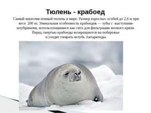 Самый многочисленный тюлень в мире. Размер взрослых особей до 2,6 м при весе