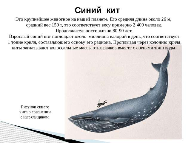 Синий кит Это крупнейшее животное на нашей планете. Его средняя длина около 2...
