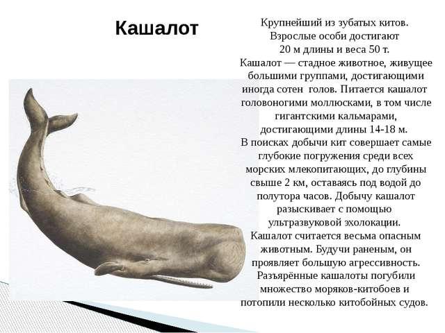 Крупнейший из зубатых китов. Взрослые особи достигают 20 м длины и веса 50 т....