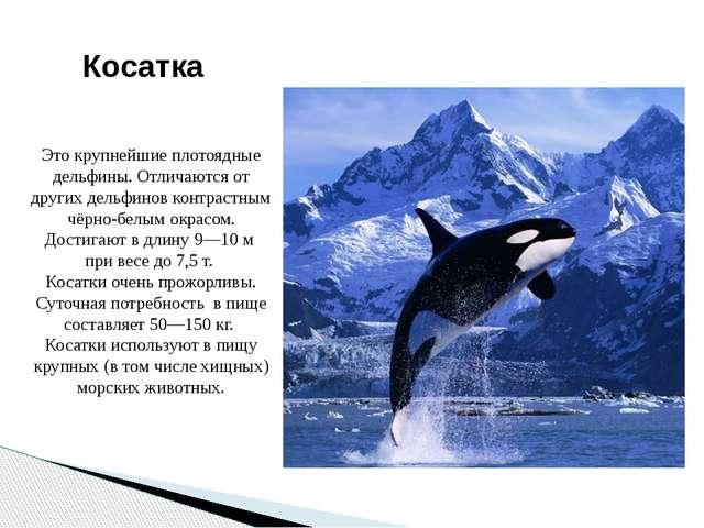 Косатка Это крупнейшие плотоядные дельфины. Отличаются от других дельфинов ко...