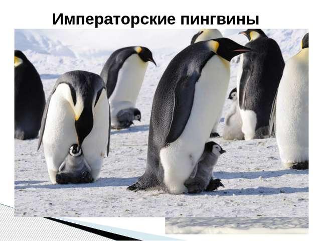 Это крупнейшие из живущих на Земле пингвинов, достигающие1,3 м в длину и веся...