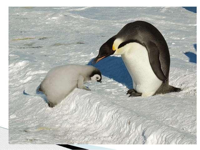 Главная пища императорских пингвинов – криль, моллюски и рыба, на которые они...