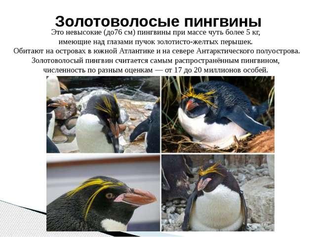 Это невысокие (до76 см) пингвины при массе чуть более 5 кг, имеющие над глаза...