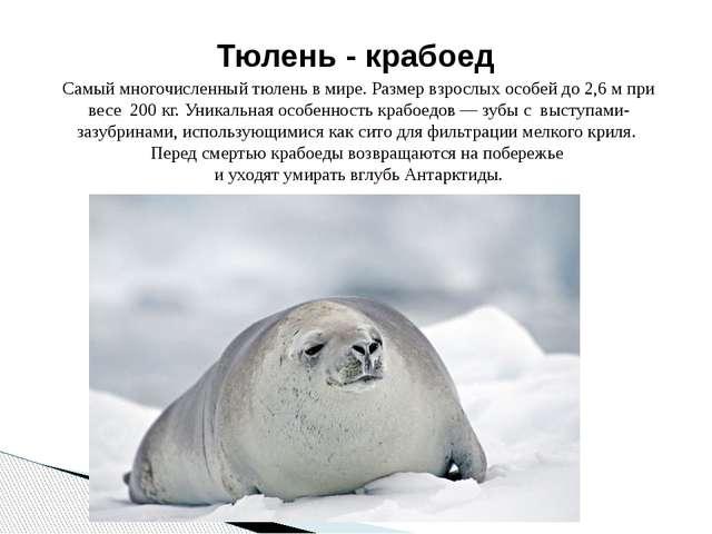 Самый многочисленный тюлень в мире. Размер взрослых особей до 2,6 м при весе...
