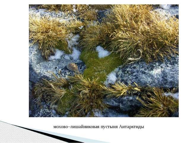 мохово–лишайниковая пустыня Антарктиды