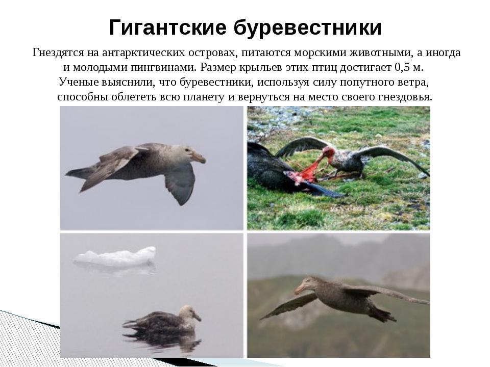 Гнездятся на антарктических островах, питаются морскими животными, а иногда...