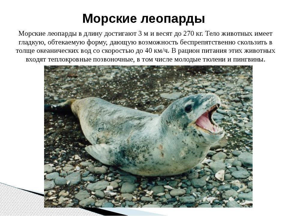 Морские леопарды в длину достигают 3 м и весят до 270 кг. Тело животных имеет...